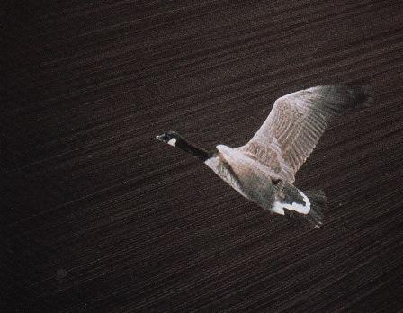 Lishman Goose Flying